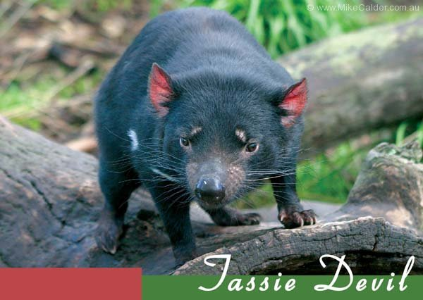 Tassie Devil