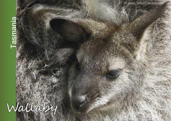 Wallaby Tasmania