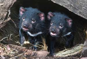 Tasmanian Devil Facts, Images and Pictures