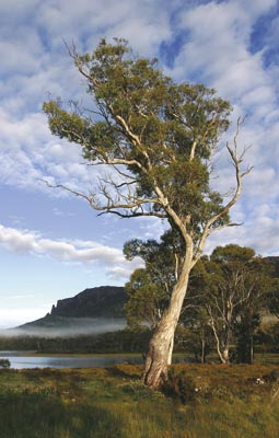 Eucalypt by Lake Ayr