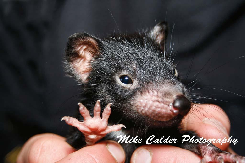 Hi-5 from a Tasmanian Devil